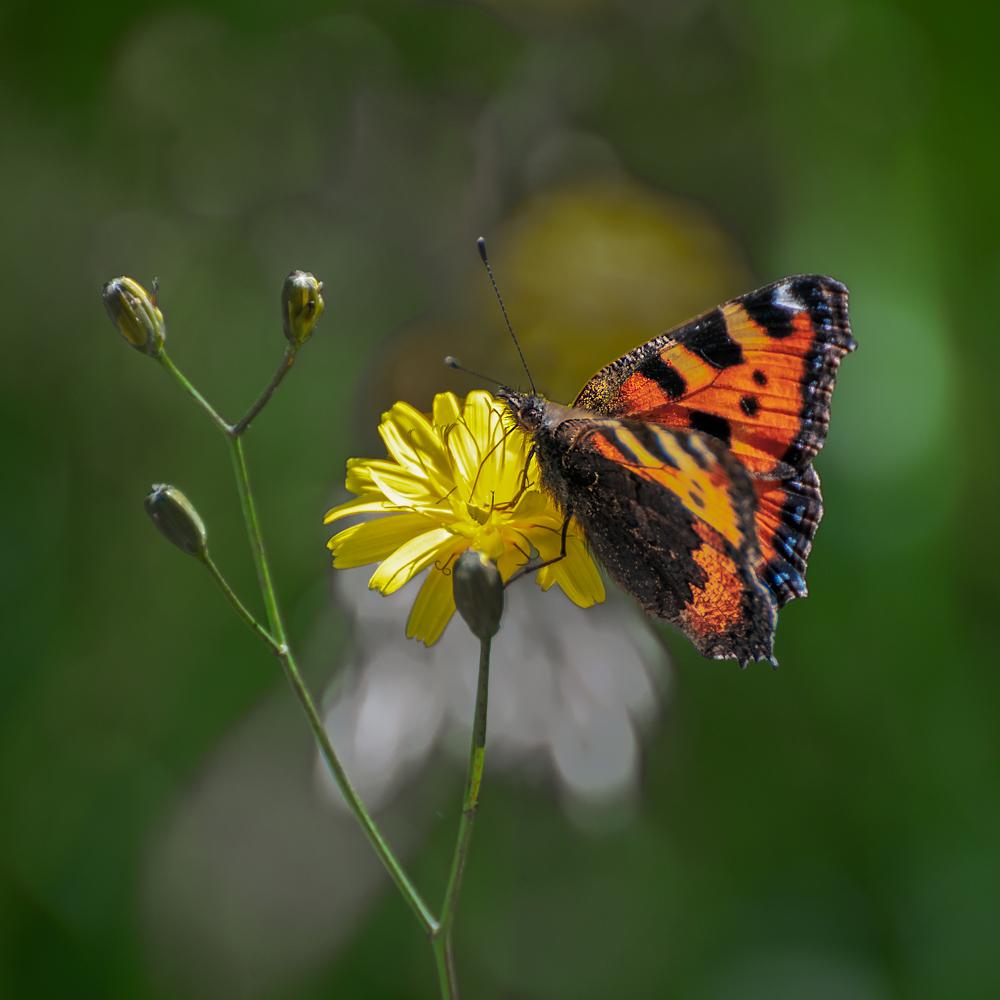 [Macro_et_Proxy] Papillon Boisba12