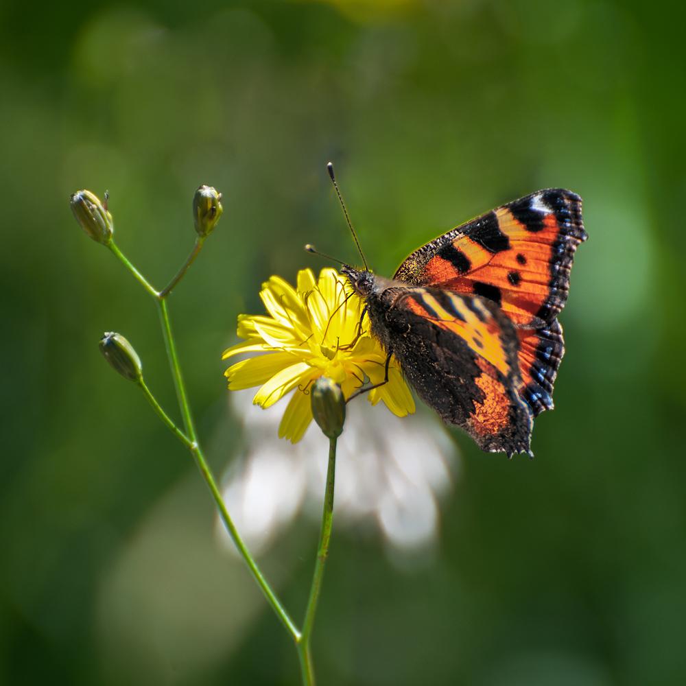 [Macro_et_Proxy] Papillon Boisba14