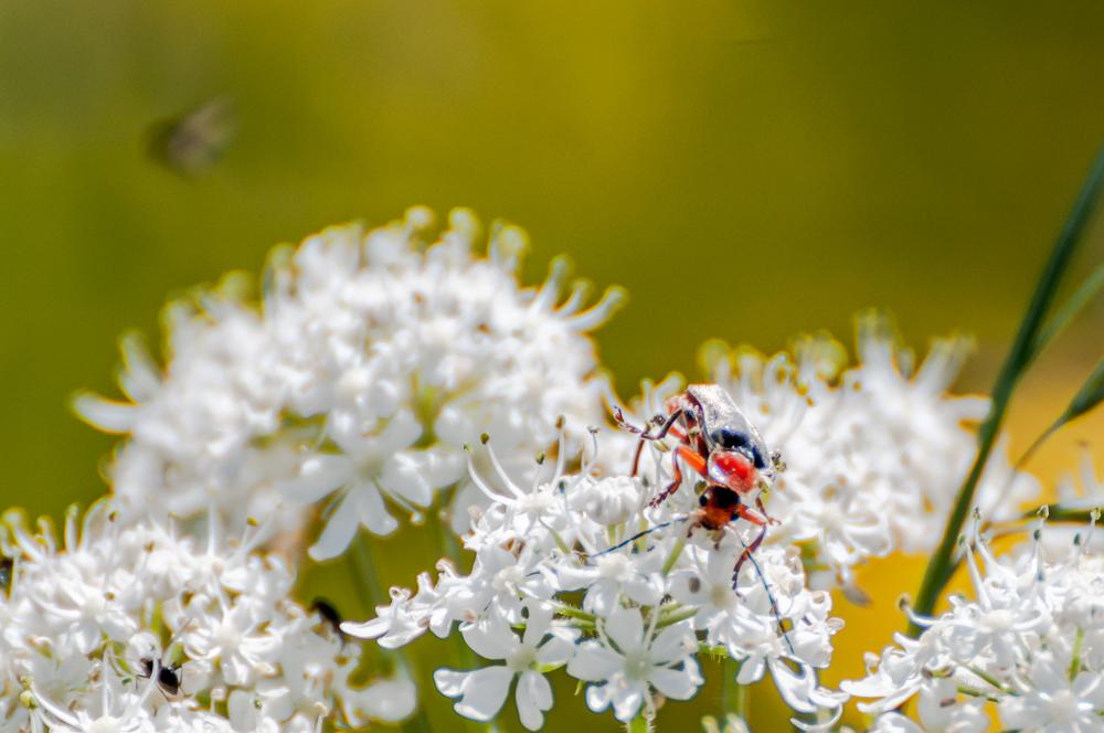 [Macro_et_Proxy] insecte sur fleur blanche Boisba16