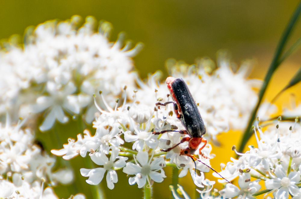 [Macro_et_Proxy] insecte sur fleur blanche Boisba17