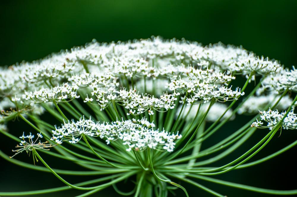 [Flore] fleur blanche Gresse19