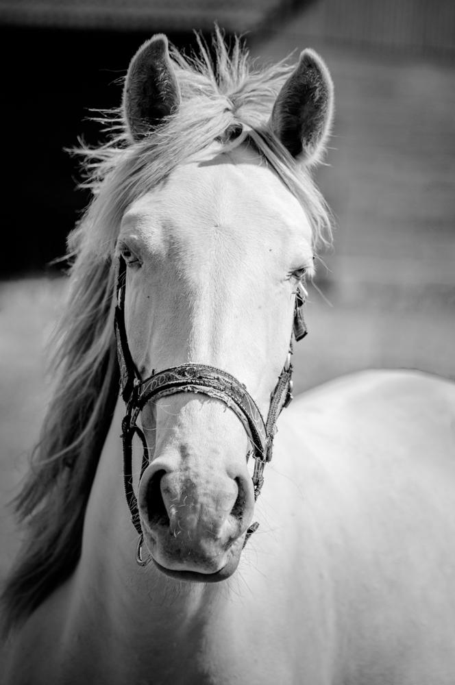 [Animaux] Cheval blanc Sassen28