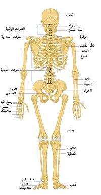 الهيكل العظمي 200px-12