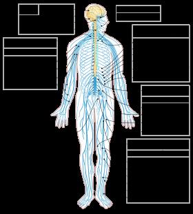 الجهاز العصبي 280px-10