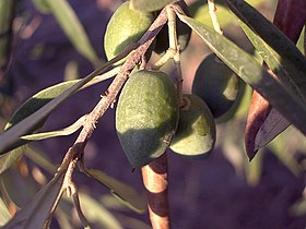 شجرة الزيتون 280px-15