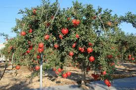 شجرة الرمان Images24