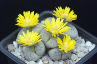 نبات وجه الحجر O-ayy-10