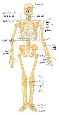الهيكل العظمي Oaa_ao10
