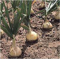 نبات البصل Onions10
