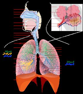الجهاز التنفسي Respir10