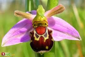 نبات اوركيد النحلة Tzolz122