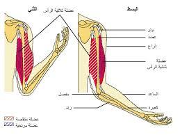 الجهاز العضلي Tzolz142