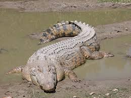 التمساح Tzolzo23