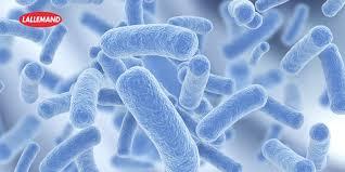 البكتيريا المفيدة في جسم الانسان Tzolzo36