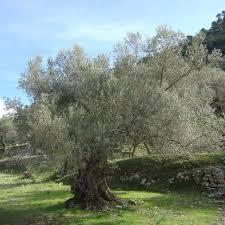 شجرة الزيتون Tzolzo45