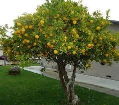 شجرة الليمون Tzolzo63