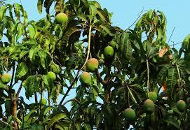 شجرة المانجو Tzolzo80