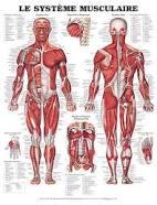 الجهاز العضلي Tzolzo96