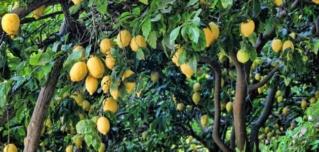 شجرة الليمون Y_aaoa10