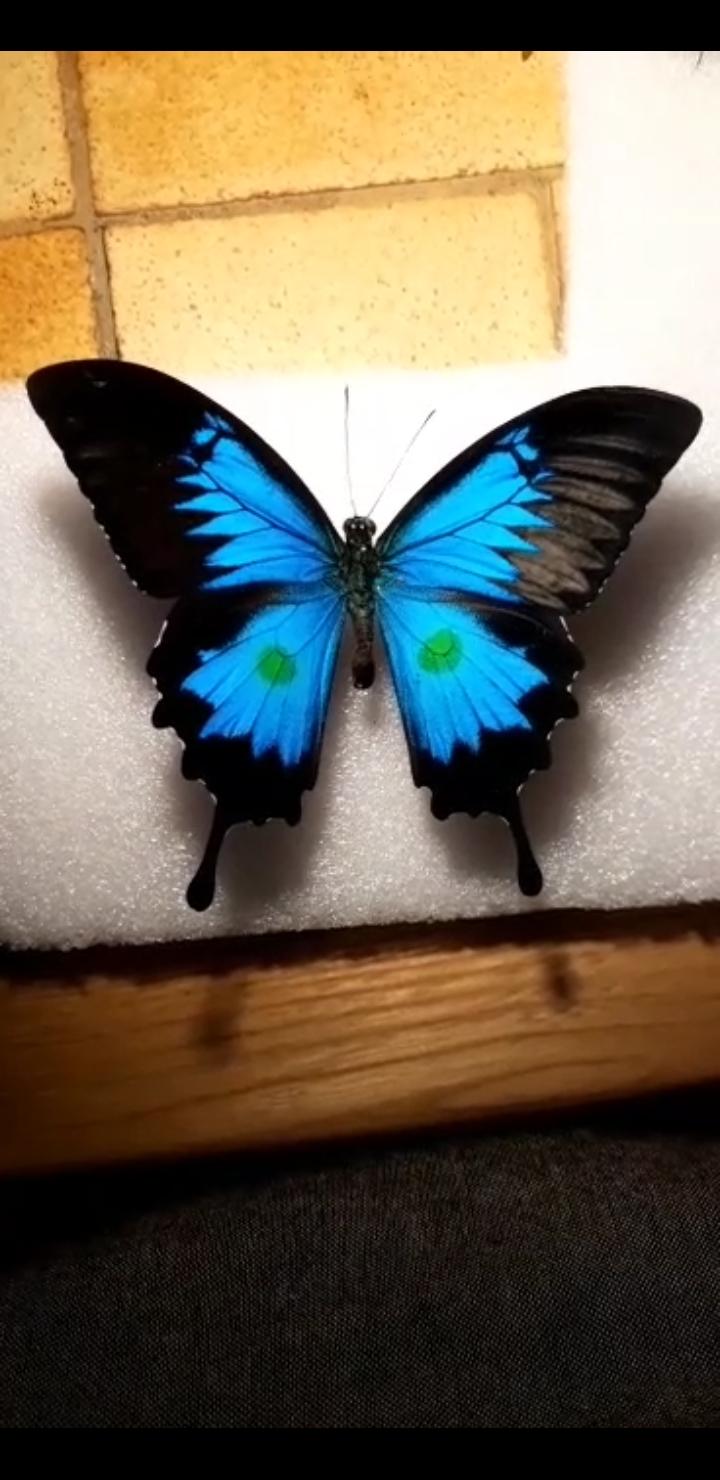 Acétate sur aile de papillon Screen10