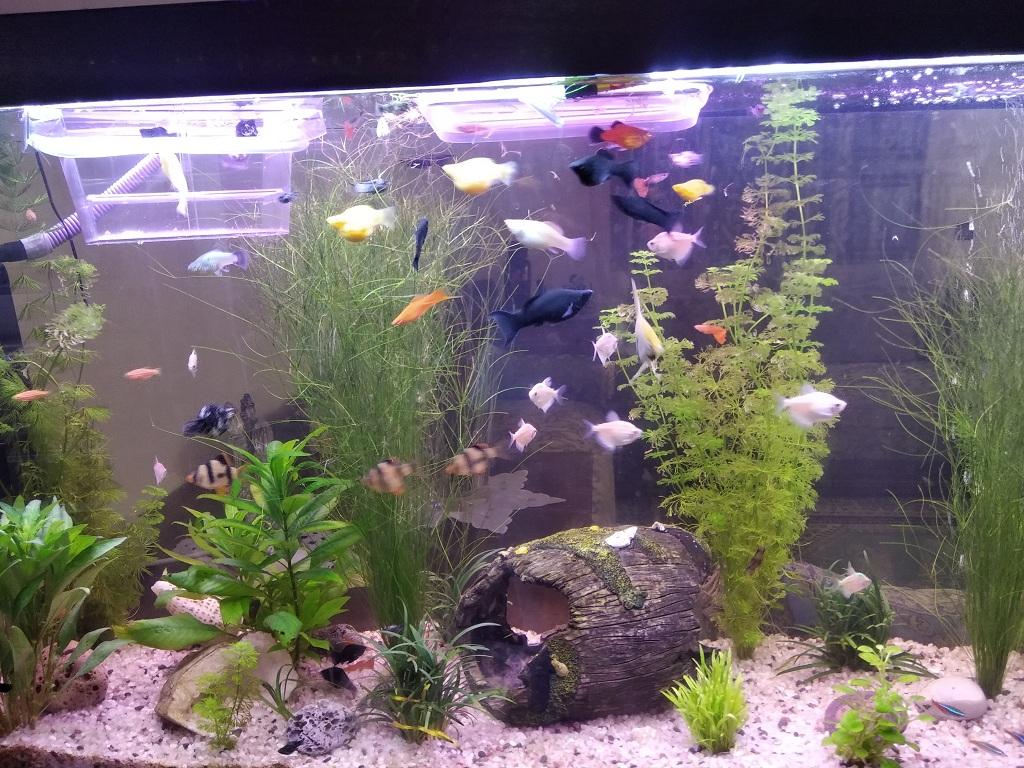 mon bac 200l avec une centaine de poissons Img_2011