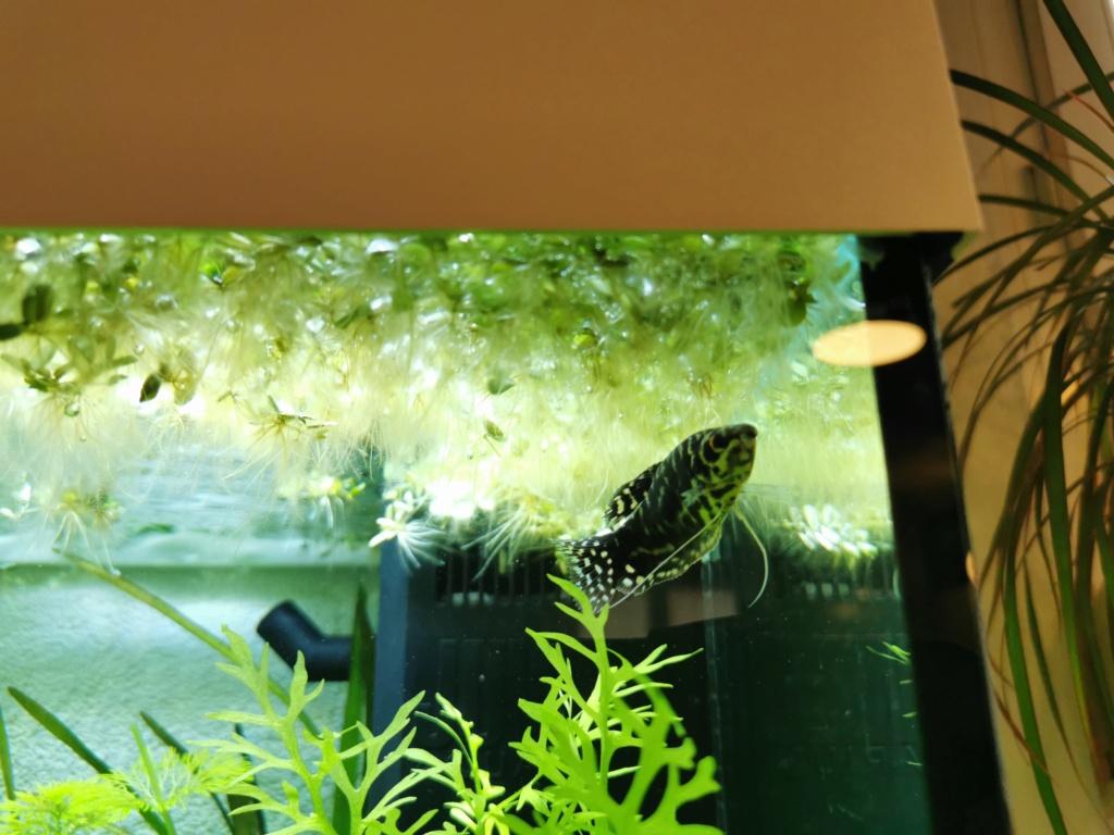 Gourami bleu devient noir Img_2012
