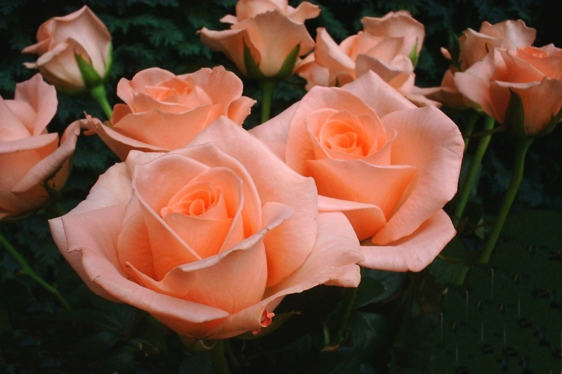 LA   PHOTO Roses_11