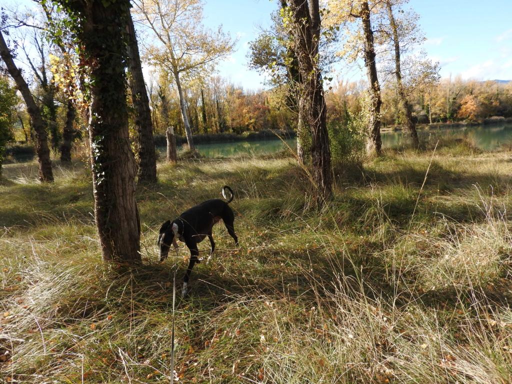 """Léonn galgo noir à l'adoption """"Scooby France """" Adopté  - Page 25 Dscn2919"""