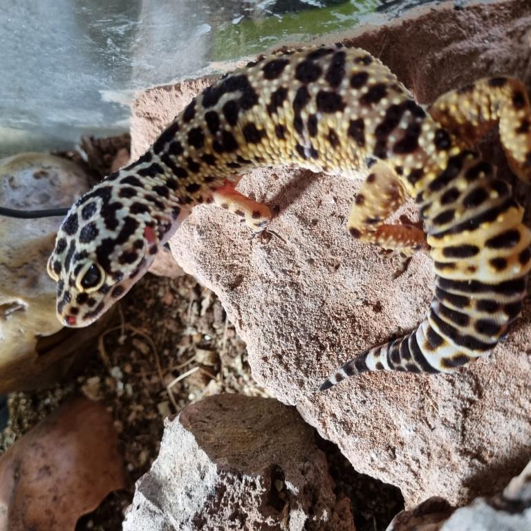 Terrarium gecko léopard 20210511