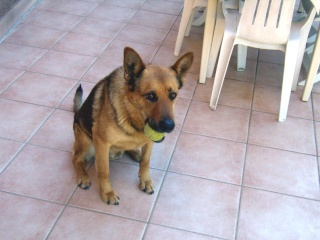 Berger Allemand 5 ans Var - Page 2 Amos_210