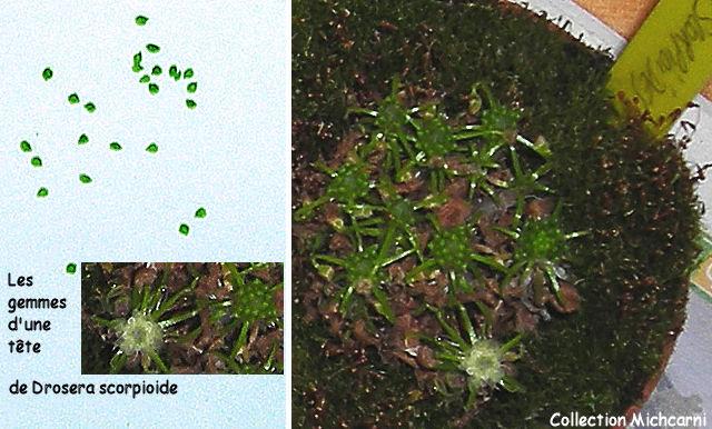 Droseras Scorpioides à partir de gemmes Droser11
