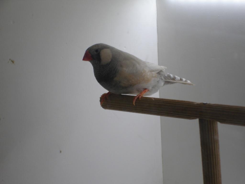 Quelques uns de mes oiseaux Dsc00340