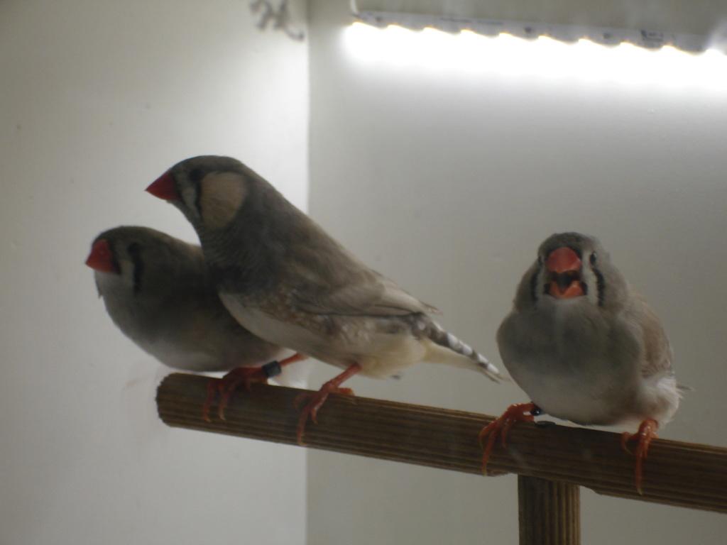 Quelques uns de mes oiseaux Dsc00343