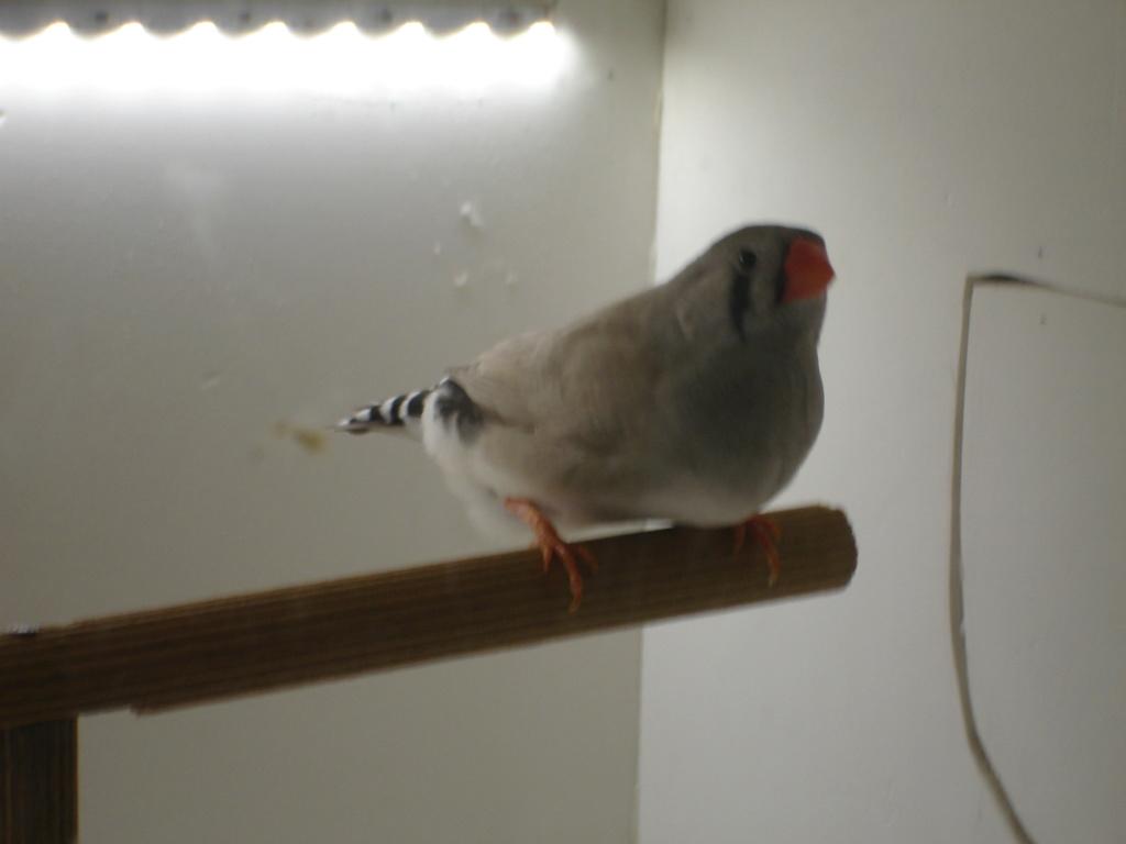 Quelques uns de mes oiseaux Dsc00344