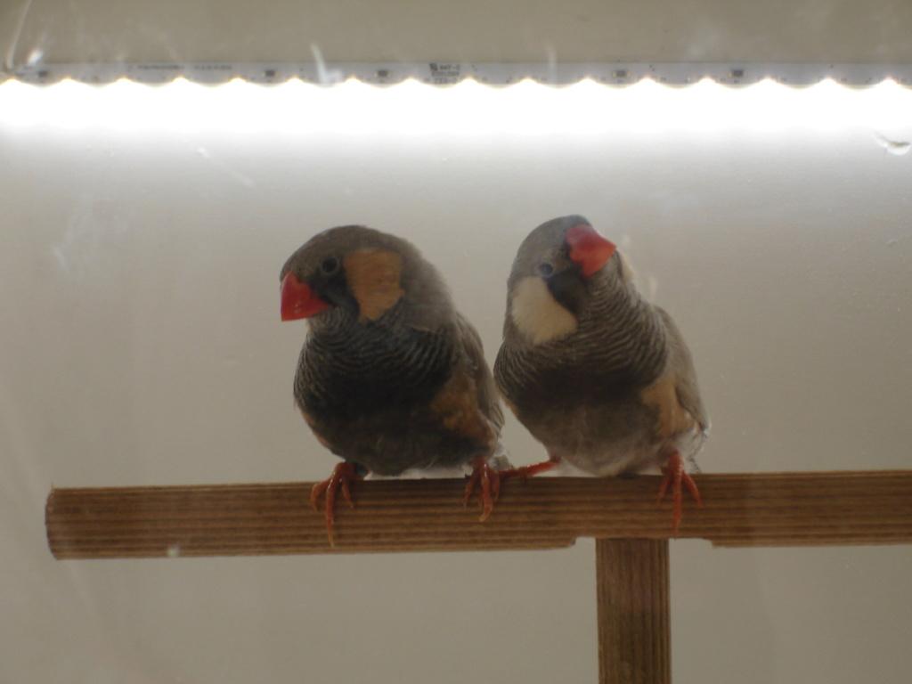 Quelques uns de mes oiseaux Dsc00347