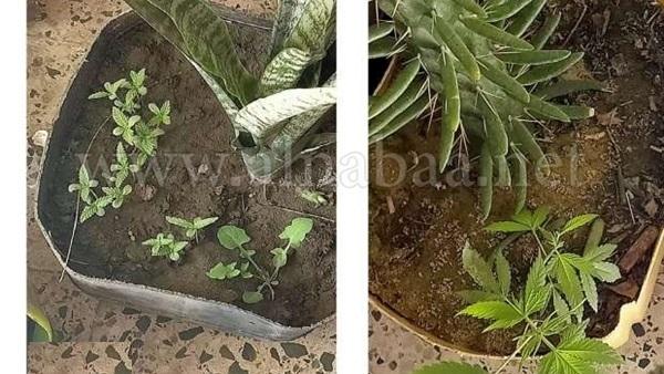 النيابة العامة تكشف تفاصيل زراعة بانجو داخل مدرسة بالدقهلية 4881410