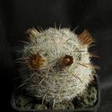 Mammillaria gasseriana / wohlschlageri Mammil14