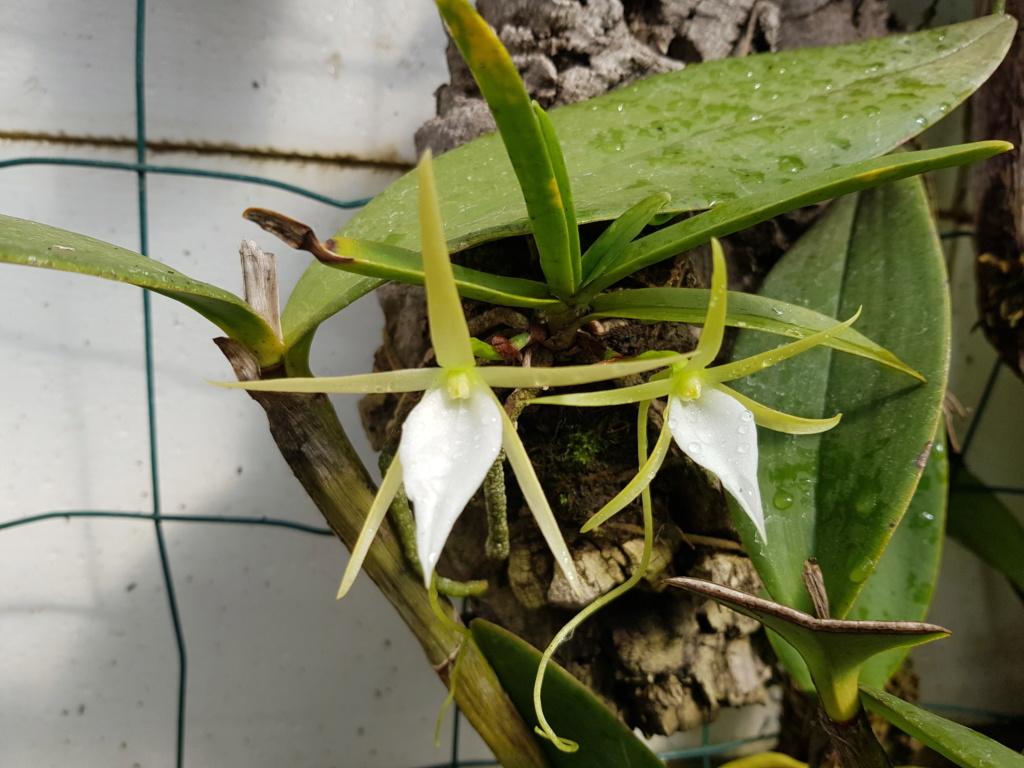 Angraecum elephantinum Angrae19