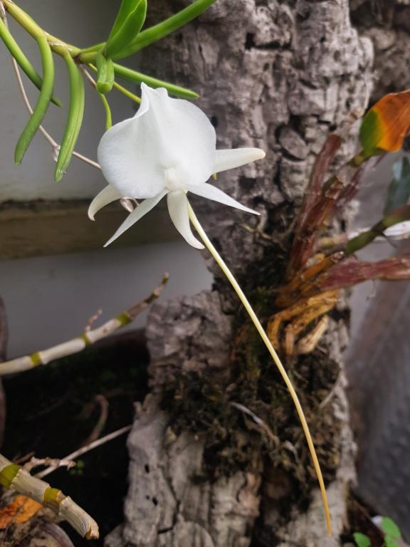 Angraecum scottianum  Angrae21