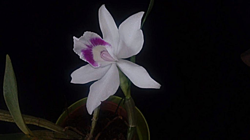laelia purpurata carnea Mini_i11