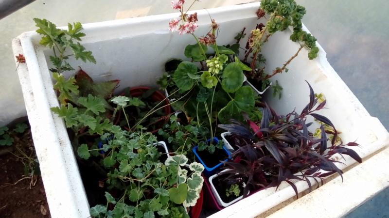 Hivernage des plantes  P_201136