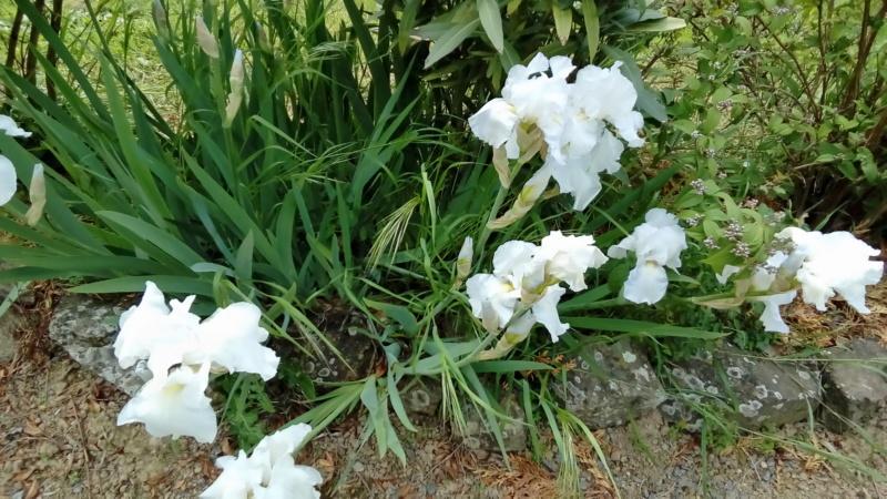 Floraison d'iris 2017 - 2018 - 2019 - Page 14 P_201294