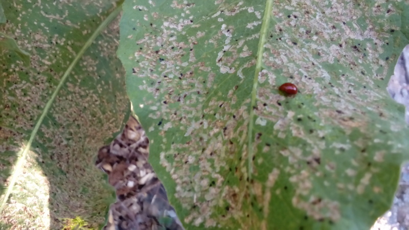 Insectes voraces P_201453