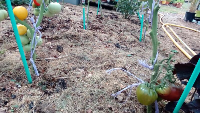 Tomates 2019 - Page 9 P_201473