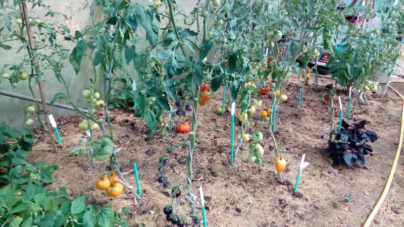 Tomates 2019 - Page 9 P_201493
