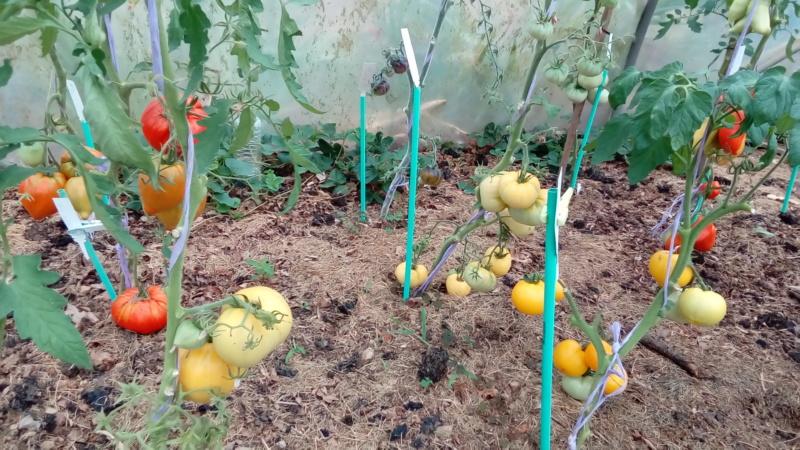 Tomates 2019 - Page 9 P_201495