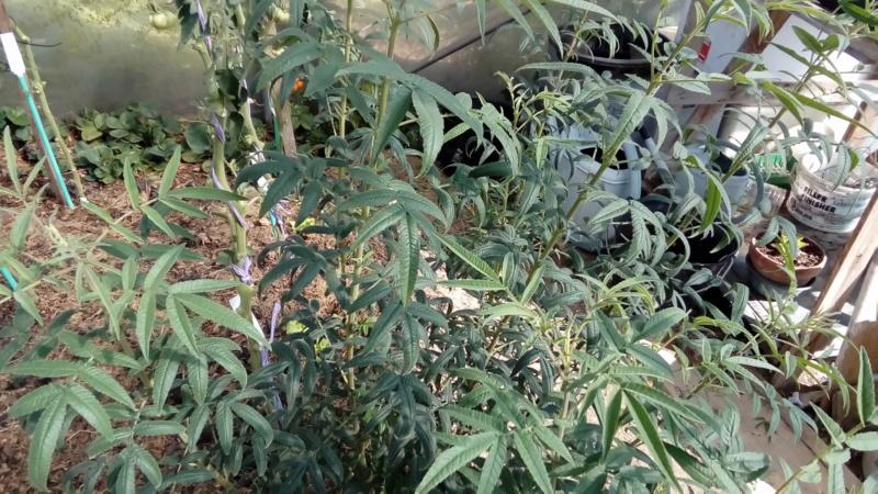 Tagète lemonii 'tangerine marigold' P_201518