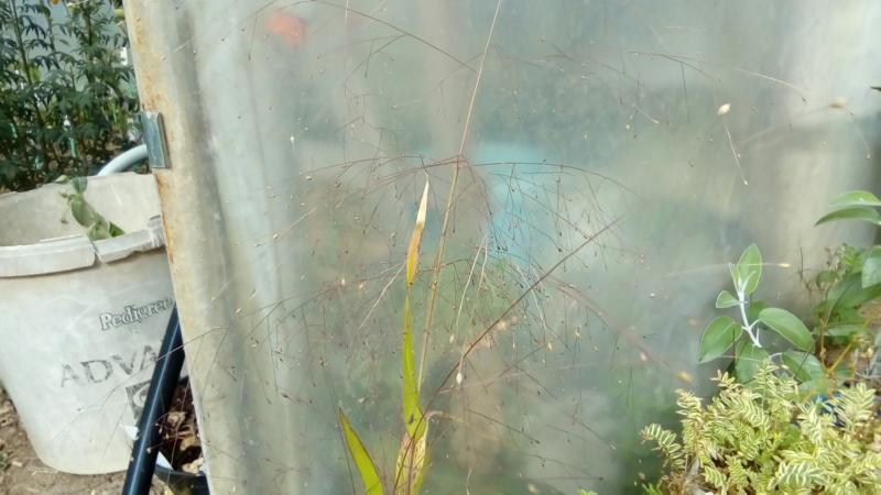 Graminée... Panicum elegans P_201529