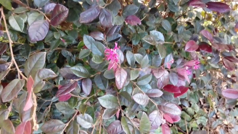 Loropetalum chinensis - Page 2 P_201595