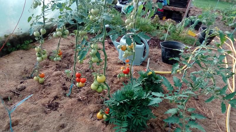 Tomates 2018 - Page 3 P_201811